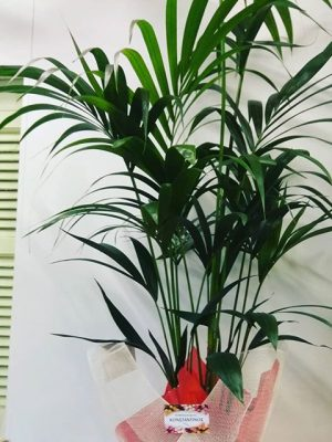 φυτό Κέντιας
