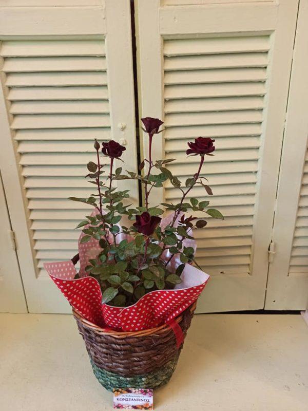 Τριανταφυλλιά σε διακοσμητικό καλάθι στη Θεσσαλονίκη. Μεγάλη γκάμα σε φυτά & Λουλούδια στη Θεσσαλονίκη! Online Ανθοπωλείο Ανθοδημιουργίες, Τούμπα Θεσσαλονίκη.