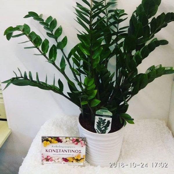 ζάμια φυτό αντοχής εσωτερικού χώρου