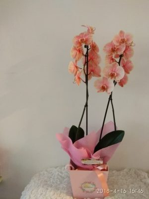 luxurious orchids