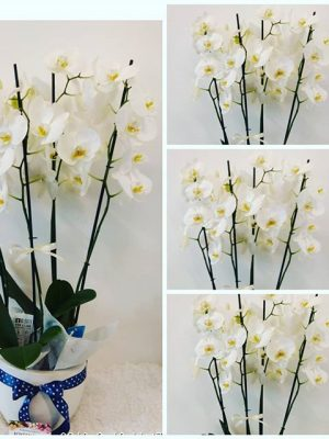Luxury Orchids an elegant gift. Delivery Orchids to Thessaloniki