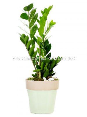 ζαμια φυτο εσωτερικου χωρου