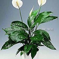 φυτο εσωτερικου χωρου ανθεκτικο σπαθιφυλλο