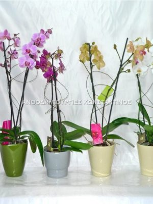 orchid-or-orchidea-natural-plant-also-called-phalaenopsis-gets-wonderfull-flowers