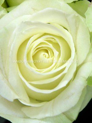 λευκο τριανταφυλλο