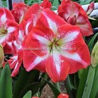 Αμαρυλίδες σε σπάνιες ποικιλίες και διάφορα χρώματα! Όλα μας τα λουλούδια μπορείτε να τα βρείτε online! Ανθοπωλείο Ανθοδημιουργίες Τούμπα Θεσσαλονίκη