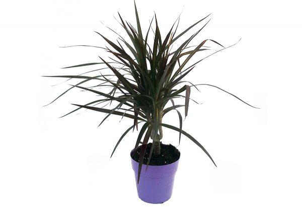 φυτα εσωτερικου χωρου σε χαμηλες τιμες αποστολη εντος θεσσαλονικης