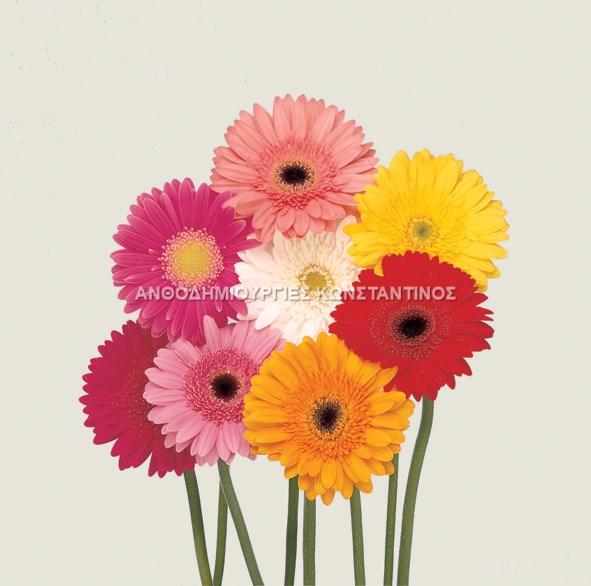 Ζέρμπερες σε μεγάλη ποικίλια χρωμάτων! Όλα μας τα λουλούδια μπορείτε να τα βρείτε online! Ανθοπωλείο Ανθοδημιουργίες Τούμπα Θεσσαλονίκη