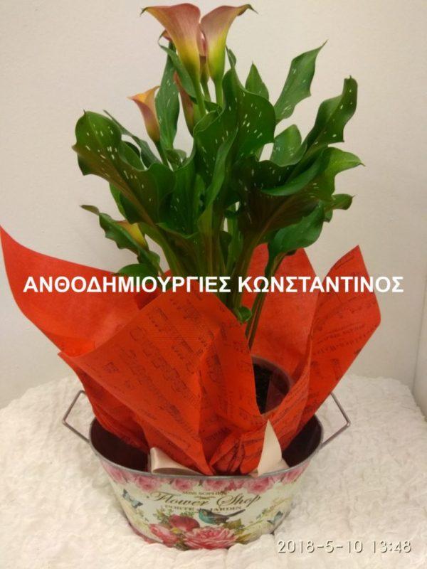 φυτο καλα σε κασπο διακοσμητικό