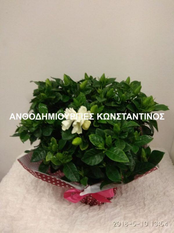 αγορα αρωματικου φυτου γαρδενιας απο το ανθοπωλειο Ανθοδημιουργίες Κωνσταντίνος