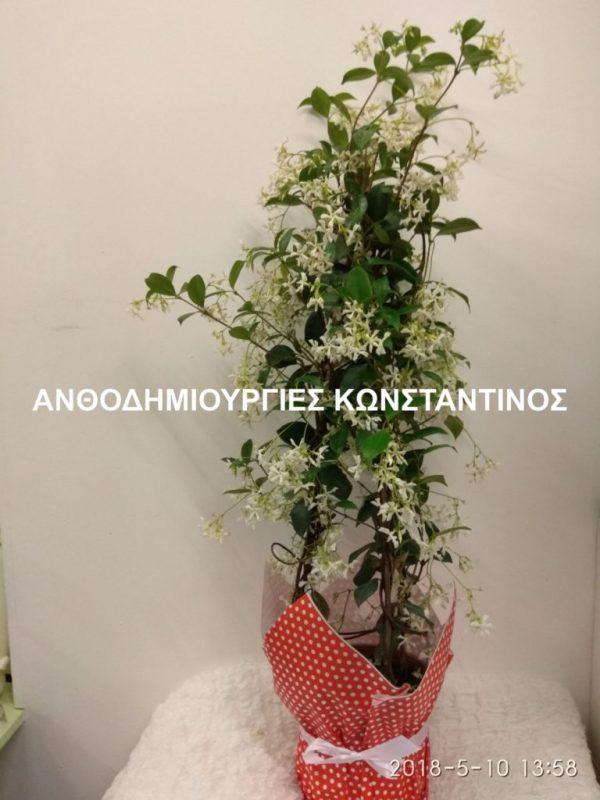 φυτο γιασεμι αποστολη στην πολη της θεσσαλονικης