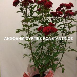 φυτο τριανταφυλλιας θεσσαλονικη