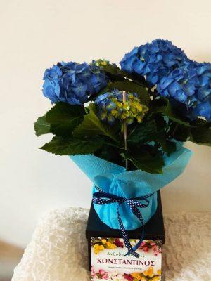 Τεράστια ποικιλία σε ασυναγώνιστες τιμές σε φυτά ανοιξιάτικα όπως ορτανσίες θα βρείτε στο Ανθοπωλείο μας Ανθοδημιουργίες Κωνσταντίνος