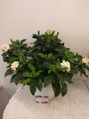 gardenia se keramiko