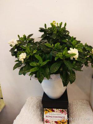 φυτό εποχής γαρδένια μπορείτε να γοράσετε ανθισμένη την άνοιξη και το καλοκαίρι