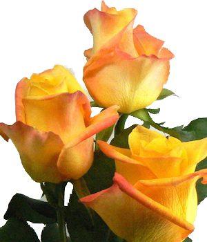 δίχρωμα τριαντάφυλλα Θεσσαλονίκη | Online ανθοπωλείο ανθοδημιουργίες Τούμπα Θεσσαλονίκης