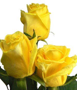 κίτρινα τριαντάφυλλα Θεσσαλονίκη | Online ανθοπωλείο ανθοδημιουργίες Τούμπα Θεσσαλονίκης