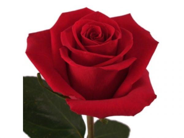 Τριαντάφυλλα σε διάφορα χρώματα. Όλα μας τα λουλούδια μπορείτε να τα βρείτε online! Ανθοπωλείο Ανθοδημιουργίες Τούμπα Θεσσαλονίκη