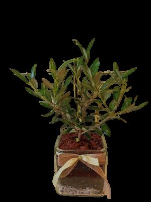 Olive Decorative | Online florist florist Toumba Thessaloniki