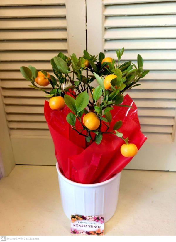 Φυτό ΚΑΛΑΜΟΝΤΙΝ σε κεραμικό, ιδανικό για δώρο στη Θεσσαλονίκη! Μεγάλη γκάμα λουλουδιών & φυτών. Online Ανθοπωλείο Ανθοδημιουργίες, Τούμπα Θεσσαλονίκη.